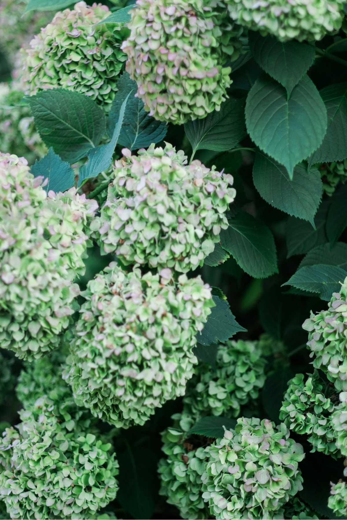 Ortensie verdi in vaso
